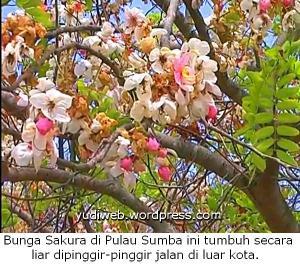 bunga sakura di waingapu, Sumba, NTT