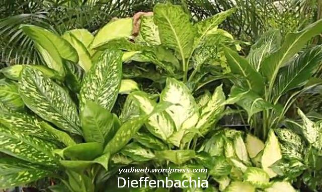 Dieffenbachia 3
