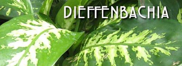 dieffenbachia-plant