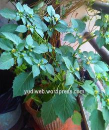 pohon ciplukan di jakarta