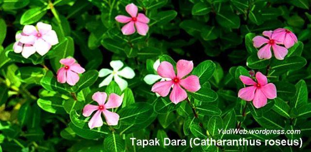 bunga tapak dara