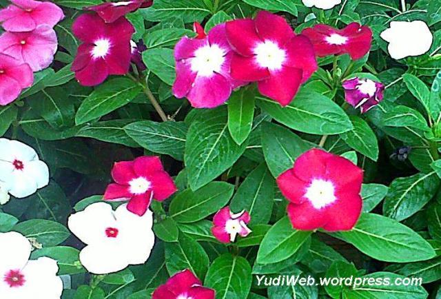 tumbuhan tapak-dara 2